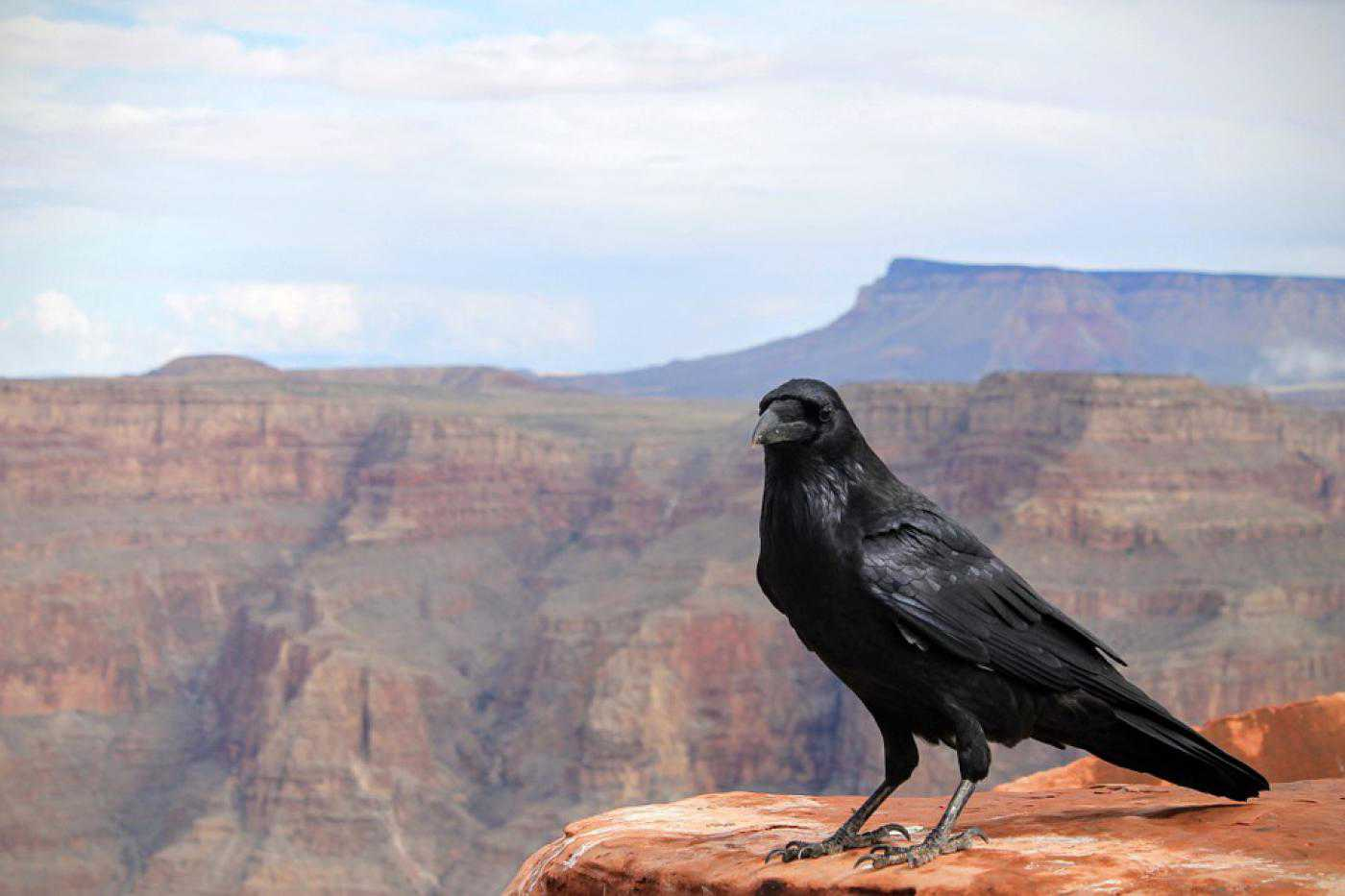 Animals Raven Crow Bird Grand Canyon - Poster and Wallpaper Download