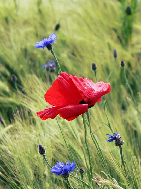 Poppy Red Klatschmohn Field Poppies - Poster and Wallpaper Download