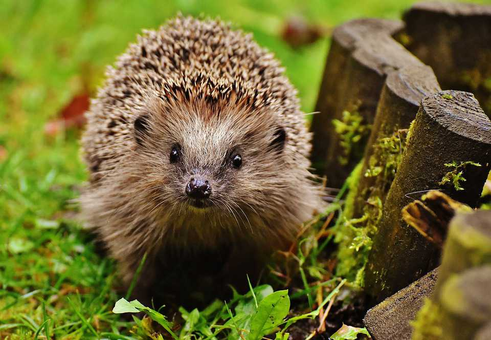 Hedgehog Child Young Animal Spur - Poster and Wallpaper Download