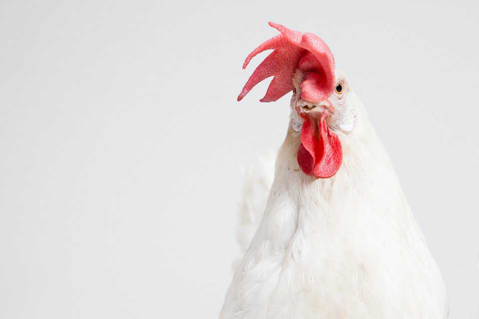 Cock Chicken Animal Background - Poster and Wallpaper Download