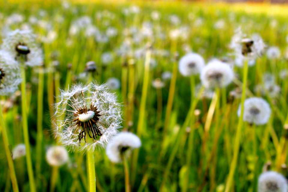 Dandelions Grass Nature Green Summer - Poster and Wallpaper Download