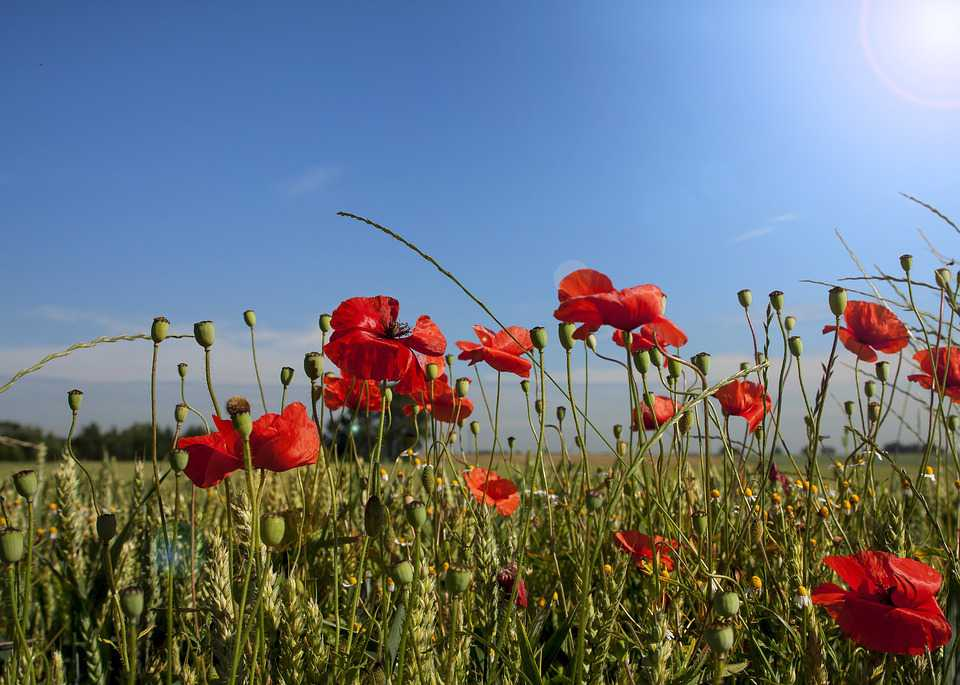 Poppy Landscape Spring Papaver - Poster and Wallpaper Download