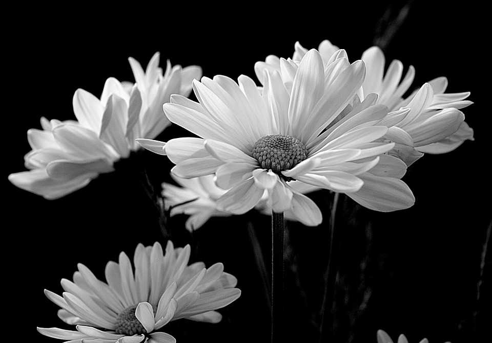 Flora Daisy Daisies Flower White - Poster and Wallpaper Download