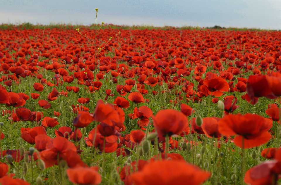 Field Poppy Flower Red Spring Nature - Poster and Wallpaper Download