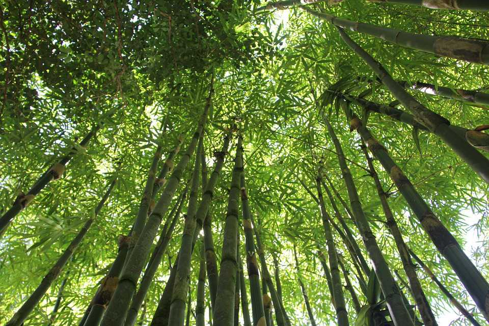 Bamboo Forest Hawaii Nature Green - Poster and Wallpaper Download