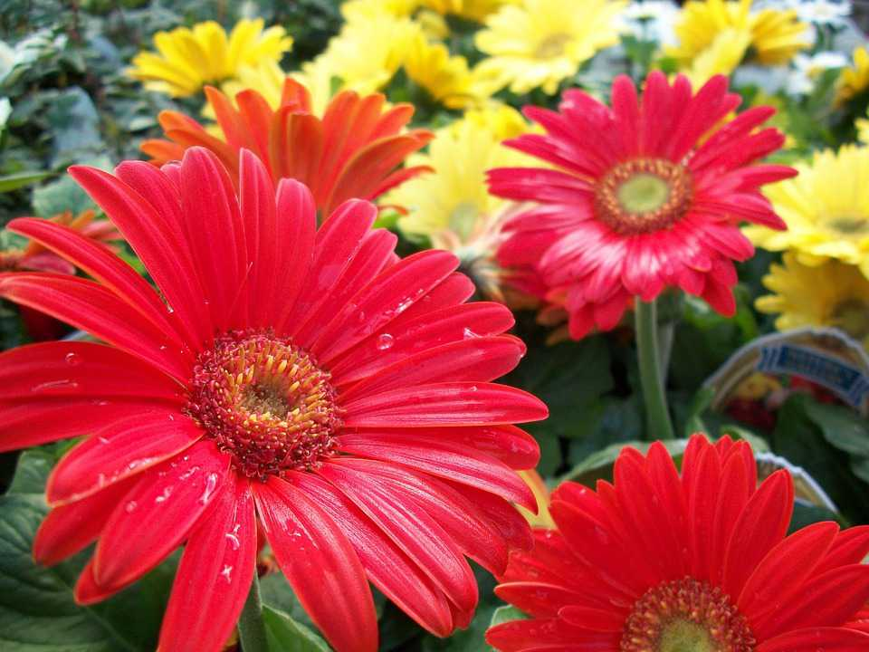 Flowers Red Yellow Nature Beauty - Poster and Wallpaper Download