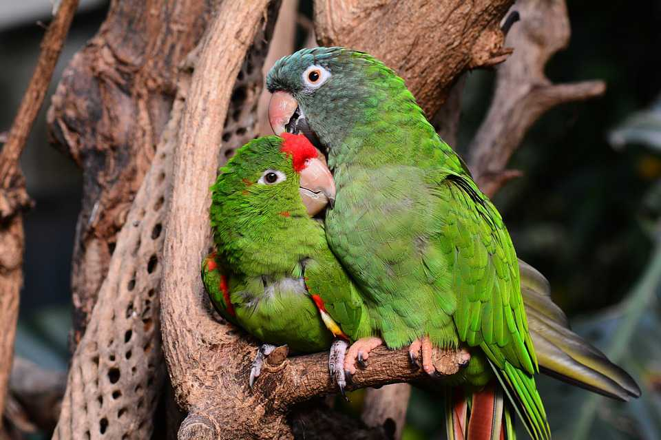 Animals Papagei Papageien Green Verliebt - Poster and Wallpaper Download