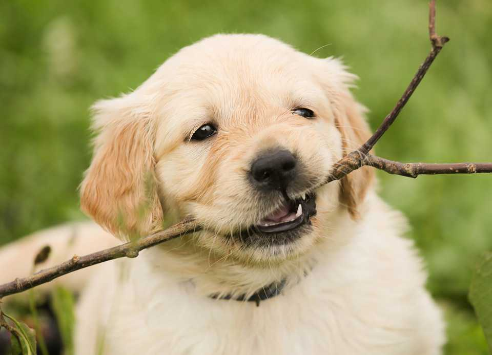 Wallpaper Download Welpe Golden Retriever Dog Free Hd Download