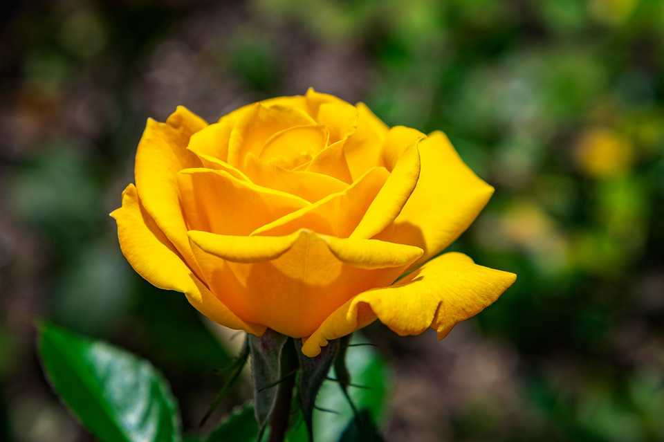 Rose Flower Yellow Blossom Nature Plant - Poster and Wallpaper Download