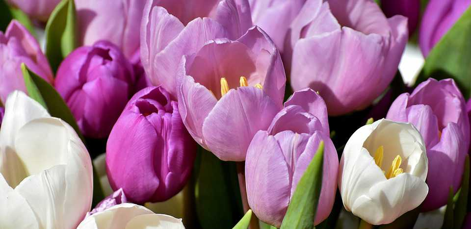 Tulips Lila Spring Flowers Blüten - Poster and Wallpaper Download