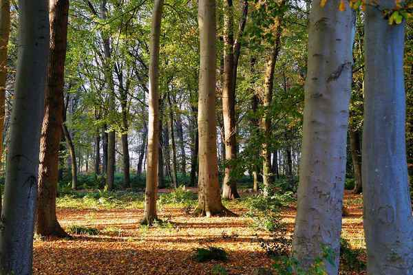 Poster Forest Buchen Trees Autumn Download