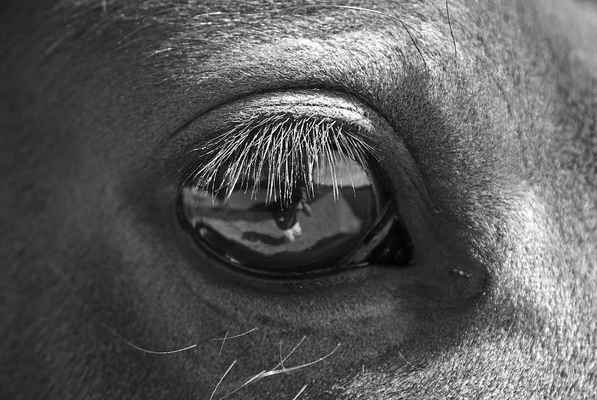 Poster Macro Black And White Horse Eye Close Download