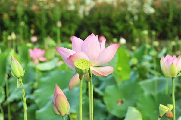 Poster Lotus Flowers Rosa Flower Download
