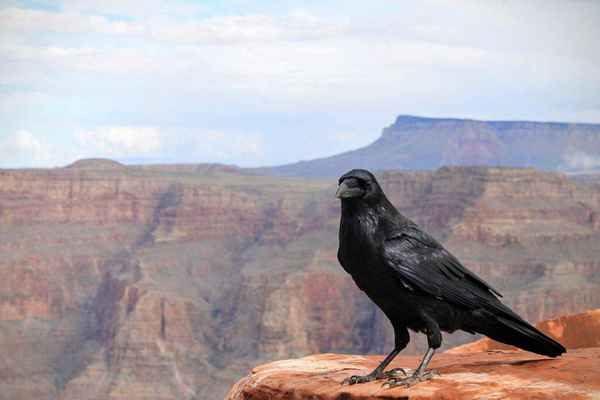 Poster Animals Raven Crow Bird Grand Canyon National Download