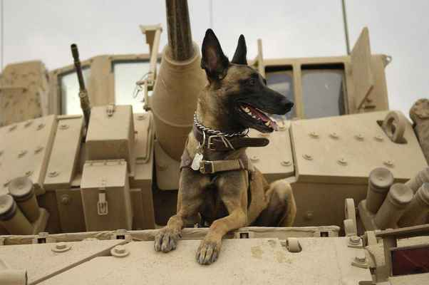 Poster Animals Dog Tank Army Malinois Belgian Shepherd