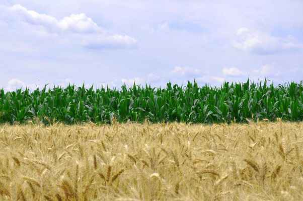 Poster Corn Wheat Food Grain Agriculture Harvest Crop Download