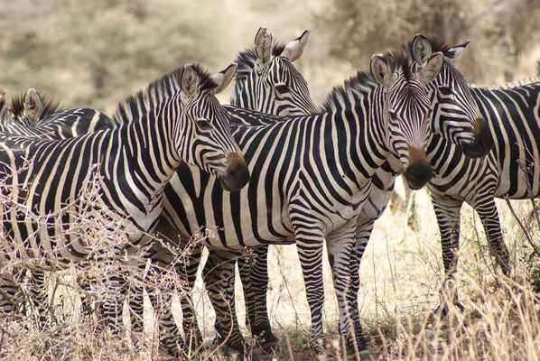 Poster Zebra Africa Nature Wildlife Animal Mammal Download