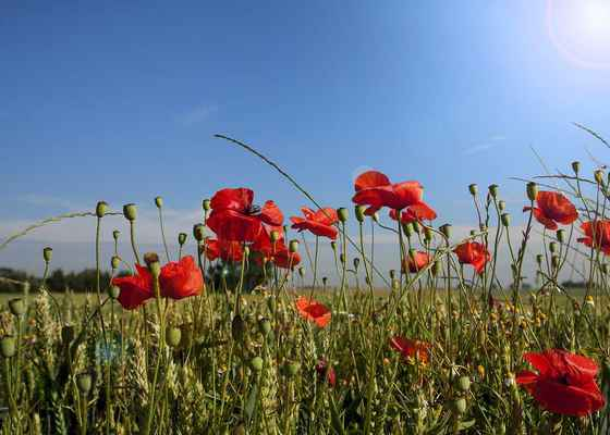 Poster Poppy Spring Papaver Klatschmohn Red Meadow Field Download
