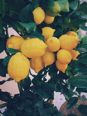 Poster Lemon Tree Lemons Citrus Yellow Organic Crop