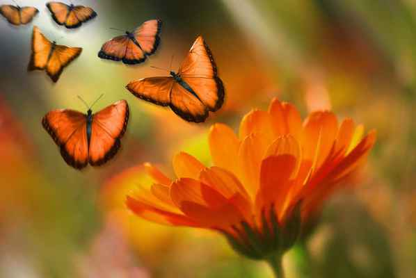 Poster Butterfly Insect Animal Flowers Marguerite Summer Orange