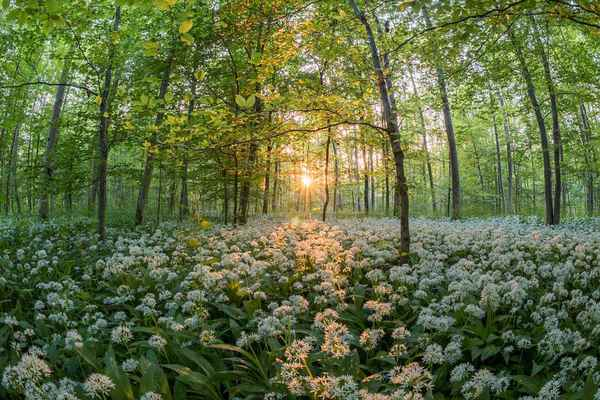 Poster Forest Bear's Garlic Sunset Sun Plants Sea