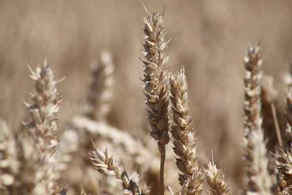 Poster Grain Bauer Cereals Harvest Wheat Cornfield Agriculture Download