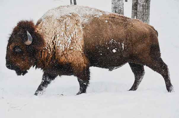 Poster Bison Winter Wild Animal Nature Wildlife Snow Download