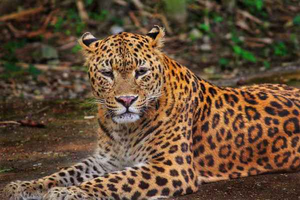 Poster Leopard Jungle Wildlife Safari Nature Animal Wild