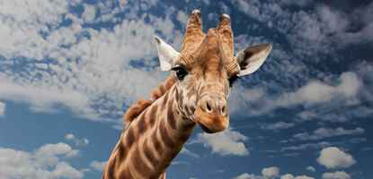 Poster Giraffe Animal Funny Facial Expression Mimic Neck