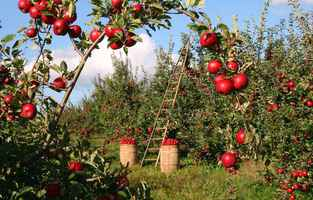 Poster Apple Tree Orchard Red Green Ladder Harvest