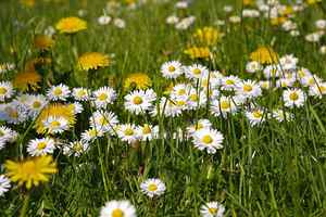 Poster Spring Meadow Flowers Flower Signs Of Dandelion