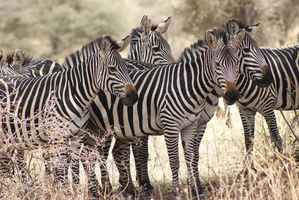 Poster Zebra Africa Nature Wildlife Animal Mammal