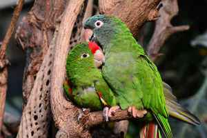 Poster Animals Papagei Papageien Green Verliebt Bird Animal