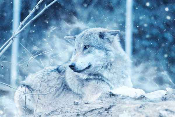 Poster Wolf Animal Snow Winter Raubtier Liegend Nature