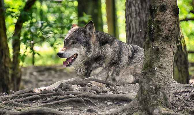 Poster Wolf Wildtier Beautiful Tierwelt Raubtier Animal Rudeltier