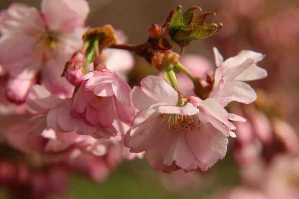 Poster Macro Cherry Blossom Flowers Download